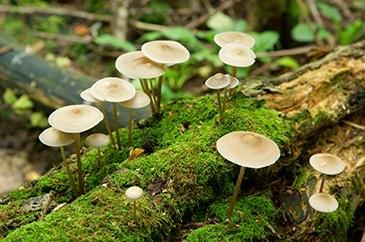 Mycoremediation Fungi photo
