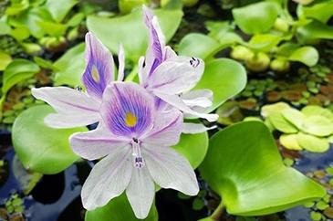 Water Hyacinth Phytoremediation photo